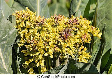 yellow cabbage flowers in bloom