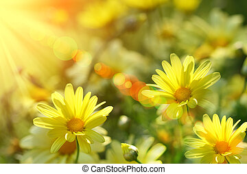 Closeup of yellow daisies with warm rays from the sun