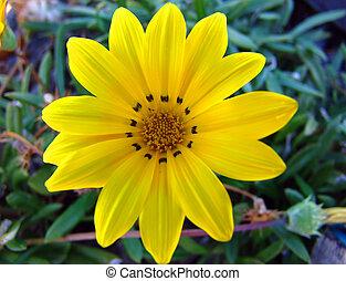 Yellow Daisy - Closeup of Yellow Daisy