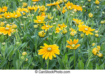 yellow garden summer flowers in bloom