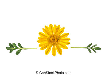 yellow gazania flower with leaves on white background