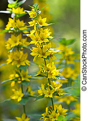 Yellow Loosestrife flower (Lysimachia vulgaris) - Closeup of...