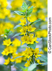 Yellow Loosestrife flower - Closeup of Yellow Loosestrife...