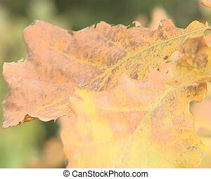 Closeup of yellow oak leaves in autumn moving in the wind.