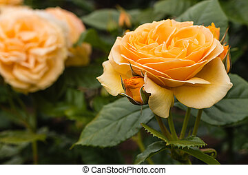 yellow queen amber roses in bloom