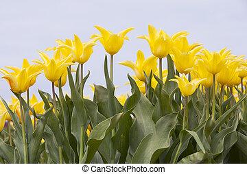 closeup of yellow tulips in dutch flower field