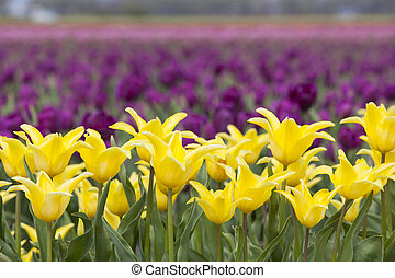 yellow tulips in flower field with purple flowers in the background