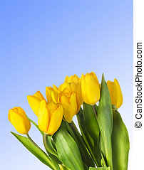 Closeup of yellow tulips over blue background