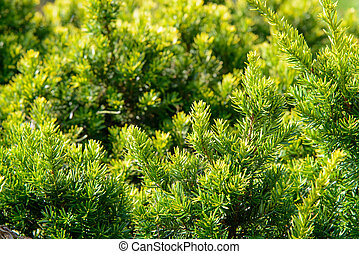 closeup of yew branches