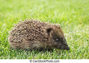 young European hedgehog - Erinaceus europaeus - closeup of ...