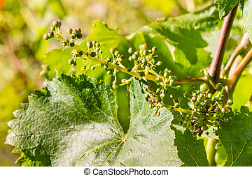 young grape berries on grapevine in vineyard