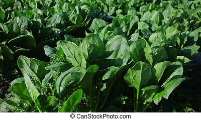 View of field planted with ripening green spinach cultivar. Popular leafy vegetable crop