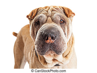 Closeup of Young Shar Pei Breed Dog
