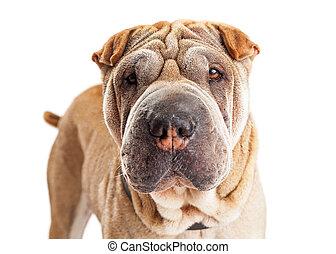 Closeup of Young Shar Pei Breed Dog