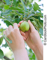Closeup on a hand picking a green apple from the tree