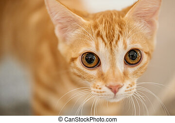 Closeup on curious ginger tabby young cat