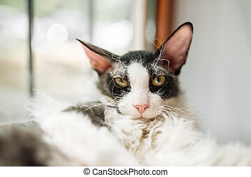 Closeup on curly black and white cornish rex cat