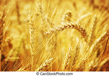 Closeup on golden wheat field at sunny summer day
