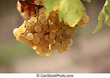 closeup on grapes in vineyards