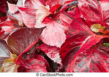 Closeup on leaf red in Autumn Leaves.