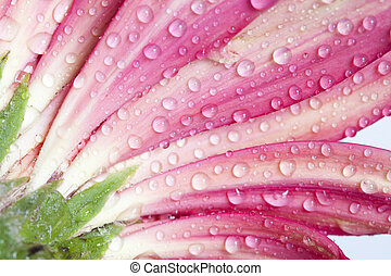 Closeup on pink gerbera daisy flower with water drops