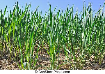 wheat seedlings - Closeup on wheat seedlings under blue sky