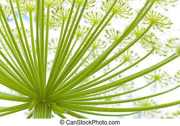 giant hogweed - closeup op a giant hogweed plant