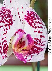 closeup, orchidea