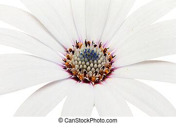closeup, osteospermum