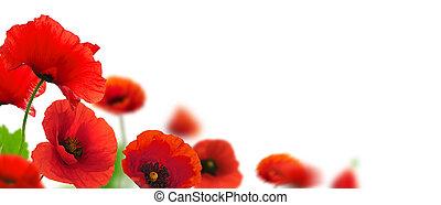 closeup, page., klaprozen, op, hoek, bloemen, grens, floral, verdoezelen, ontwerp, achtergrond., rood, brandpunt, effect, witte
