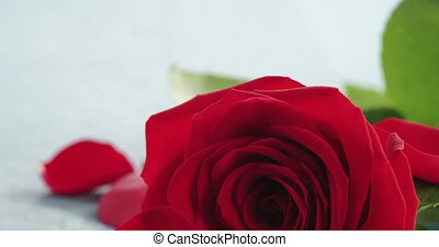 Closeup pan of red rose with petals on light blue wood background