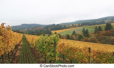 Closeup panning movie of vineyards in Dundee OR USA fall...
