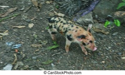 closeup panorama at small ginger and black spotted hairy piglet run outside rustic farm dirty swine paddock behind wooden fence