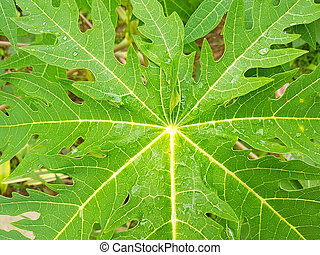 closeup, papaye, après, photo., vert, pleuvoir, feuille, horizontal
