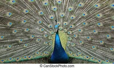 Closeup Peacock displaying plumage