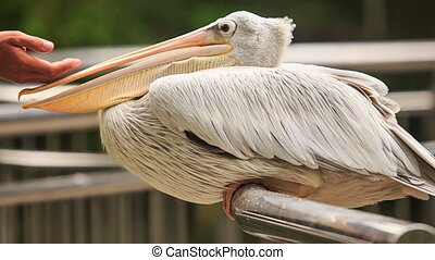 Closeup Pelican Sits on Rail Tourist Touches Large Bill -...