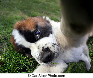 Closeup Perspective of a Saint Bernard Puppy Outdoors