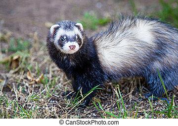 Closeup Pet Ferret on Grass