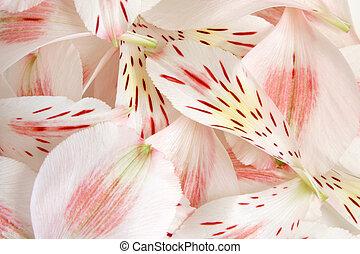 Closeup petals of alstroemeria