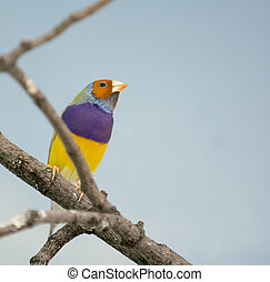 Closeup photo of a beautiful and colorful exoctic Gouldian Finch bird.