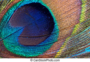 Peacock Feather - Closeup Photo of a Peacock Feather