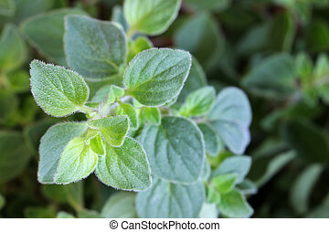 Oregano in the garden - Closeup photo of Oregano in the...