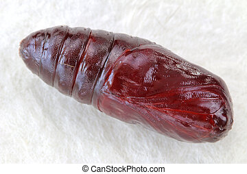 Closeup photo of Pupa of Moth