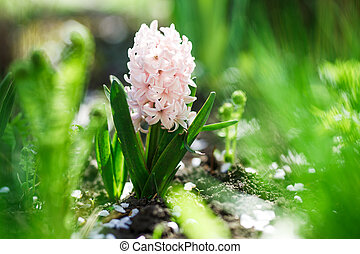 Closeup photo of white flower hyacinth in spring garden