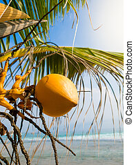 Closeup photo of yellow coconuts growing on hte beach of ...