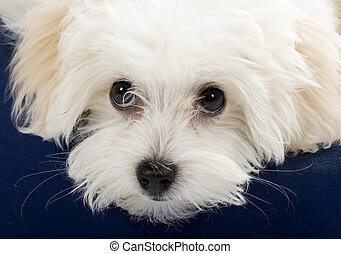 closeup picture of a bichon cute eyes