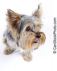 closeup picture of a curious Yorkshire terrier over white