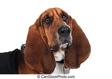 closeup picture of a cute basset hound