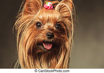closeup picture of a happy little yorkshire terrier puppy dog face