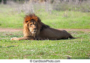 Closeup picture of a male lion resting in the grass